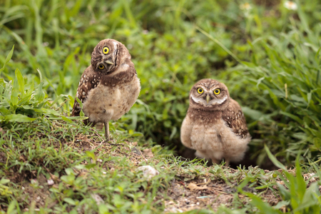 Funny Burrowing owl Athene cunicularia tilts its head outside its burrow on Marco Island, Florida 写真素材