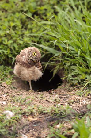 Funny Burrowing owl Athene cunicularia tilts its head outside its burrow on Marco Island, Florida Stock Photo