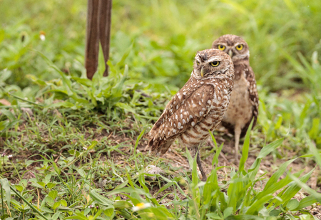 Family with Baby Burrowing owls Athene cunicularia perched outside a burrow on Marco Island, Florida