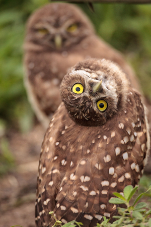 Funny Burrowing owl Athene cunicularia tilts its head outside its burrow on Marco Island, Florida Foto de archivo