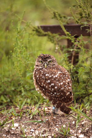 Adult Burrowing owl Athene cunicularia perched outside its burrow on Marco Island, Florida