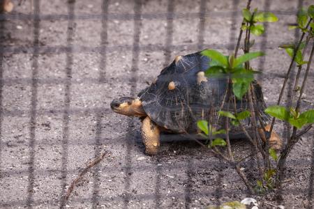 Radiated tortoise Astrochelys radiata plods along inside its enclosure