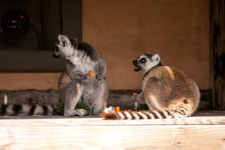 Ring-tailed lemur called Lemur catta relax on a hot day in a small wood shelter Reklamní fotografie