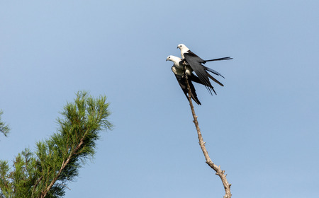 Mating Pair of swallow-tailed kite Elanoides forficatus perch on a dead tree in Naples, Florida