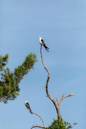 Pair of swallow-tailed kite Elanoides forficatus perch on a dead tree in Naples, Florida
