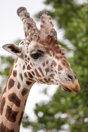 Curious and friendly Reticulated giraffe Giraffa camelopardalis reticulata looks down from its long, high neck. Imagens