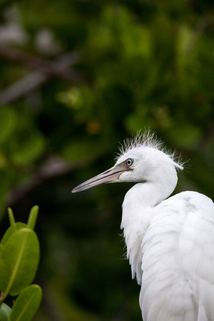 Fuzzy head of a young Great egret bird Ardea alba perches in a tree in a marsh in Naples, Florida Stock Photo