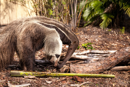 Giant anteater Myrmecophaga tridactyla forages under logs and moves bamboo out of the way to hunt for ants.