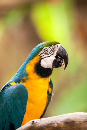Blue and gold macaw bird Ara ararauna perches in captivity in Florida