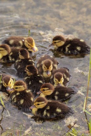 Large flock of Baby Muscovy ducklings Cairina moschata crowd together in a pond