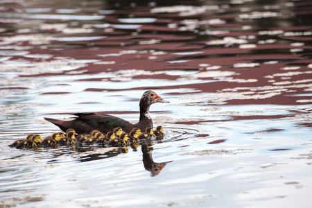 Mother and Baby Muscovy ducklings Cairina moschata flock together in a pond in Naples, Florida in summer.