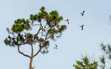 Swallow-tailed kites flock in the pine trees of Naples