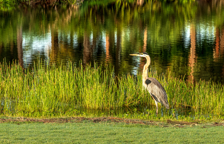 Great blue heron wading bird Ardea herodias on the grass in a marsh as it fishes for food