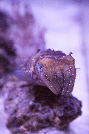 Dwarf cuttlefish Sepia bandensis is native to the western Pacific Ocean. Zdjęcie Seryjne