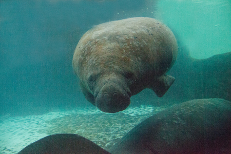 Florida manatee also called the West Indian manatee or sea cow Trichechus manatus swims in brackish water.