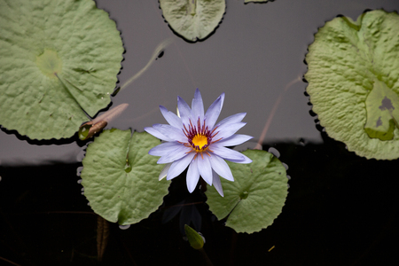Blue star water lily Nymphaea nouchali flower blooms its purple flower on a pond in Naples, Florida