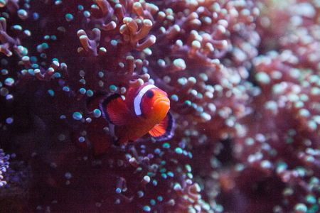 Ocellaris clownfish Amphiprion ocellaris moves in and out of an anemone on a coral reef.