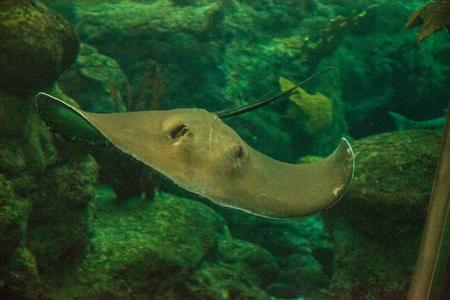 Southern Stingray Dasyatis americana glisse dans l'eau d'un grand aquarium.