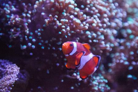 El pez payaso Ocellaris Amphiprion ocellaris entra y sale de una anémona en un arrecife de coral.