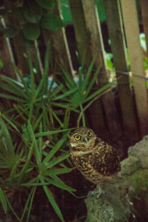 Small burrowing owl Athene cunicularia perches above its burrow in Florida