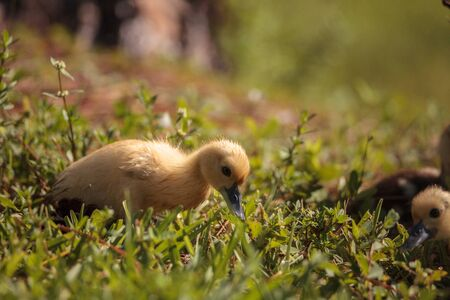 Baby Muscovy ducklings Cairina moschata flock together in a pond in Naples, Florida in summer.