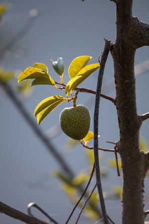 Avocado tree Persea americana grows in the wild in Naples, Florida