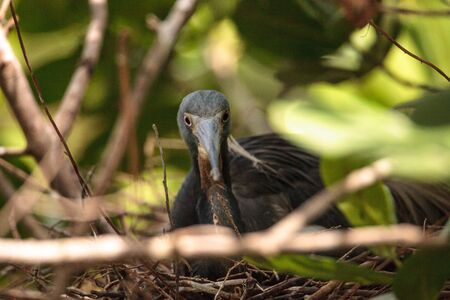 Tricolored heron Egretta tricolor sits on eggs in its nest in a tree in Naples, Florida