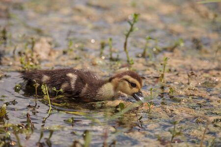 Little brown Baby Muscovy ducklings Cairina moschata flock together in a pond in Naples, Florida in summer. 版權商用圖片