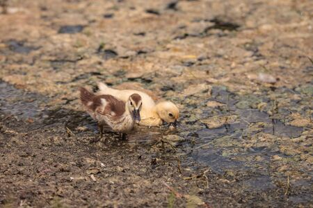 Yellow Baby Muscovy ducklings Cairina moschata in a pond in Naples, Florida in summer.