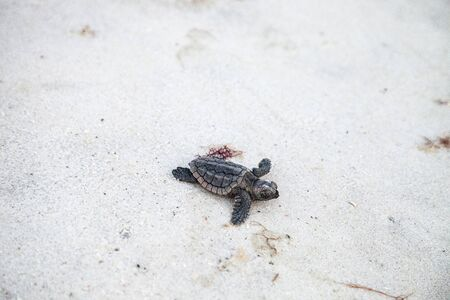 Hatchling baby loggerhead sea turtles Caretta caretta climb out of their nest and make their way to the ocean at dusk on Clam Pass Beach in Naples, Florida Archivio Fotografico