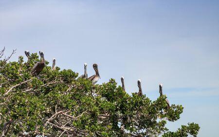 Brown pelican Pelecanus occidentalis flock perch in nests in a mangrove tree in a marina in Caxambas Island, Naples, Florida