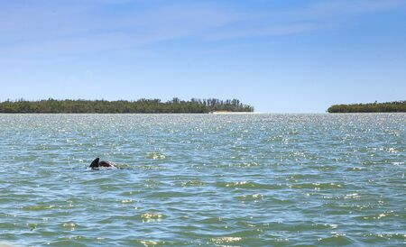 Bottlenose dolphin Tursiops truncatus swims along the shoreline of Cape Romano, Florida in summer with mangroves in the background. Stock Photo
