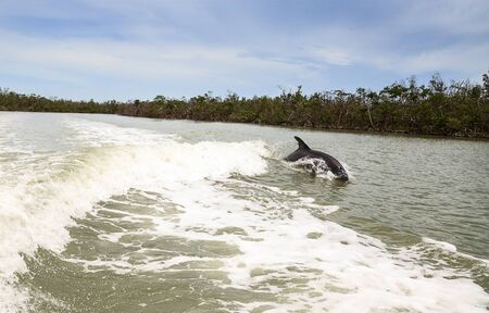 Bottlenose dolphin Tursiops truncatus swims along the shoreline of Cape Romano, Florida in summer with mangroves in the background. Stock Photo - 140424197