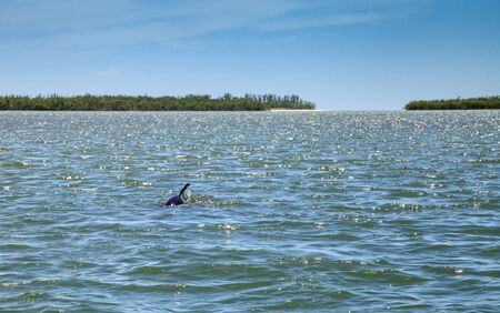 Bottlenose dolphin Tursiops truncatus swims along the shoreline of Cape Romano, Florida in summer with mangroves in the background.