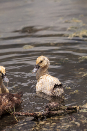 Adolescent juvenile muscovoy duckling Cairina moschata before feathers are fully formed in Naples, Florida
