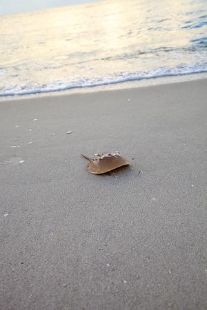 Atlantic Horseshoe crab Limulus polyphemus walks along the white sand of Clam Pass Beach in Naples, Florida in summer. Stockfoto