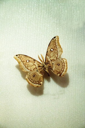 Copaxa midea moth pinned to a display board as a specimen from Peru. Archivio Fotografico