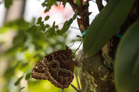 Blue morpho butterfly Morpho menelaus perches on a tree in a garden.