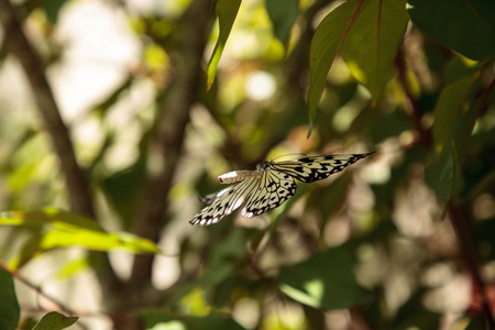 Mating dance of the Tree nymph butterfly Idea malabarica in a tropical garden. Stock fotó