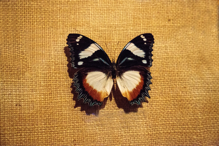 Hypolimnas dexithea pinned to a display board as a specimen. It is a butterfly endemic to Madagascar. Reklamní fotografie