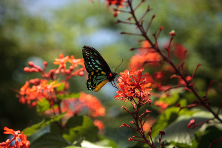 Cairns birdwing butterfly Ornithoptera euphorion perches on a tree in a garden. This species is endemic to Australia. Stock Photo
