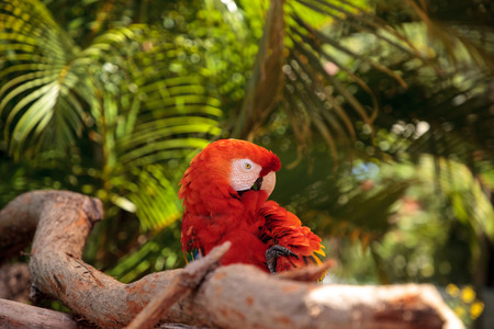 Scarlet macaw parrot Ara macao perches on a branch in a tropical garden.
