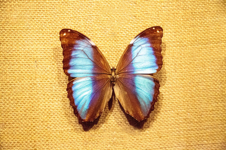 Scarce morpho butterfly Morpho deidamia pinned on a fabric board as a display specimen.