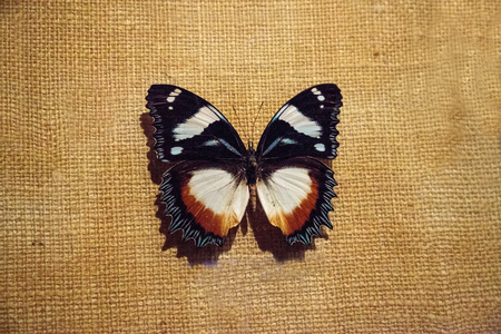 Hypolimnas dexithea pinned to a display board as a specimen. It is a butterfly endemic to Madagascar.