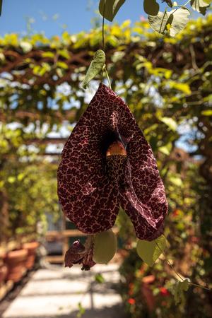 Dutchmans pipe flower Aristolochia littoralis hangs on a vine in a tropical garden. Stock Photo
