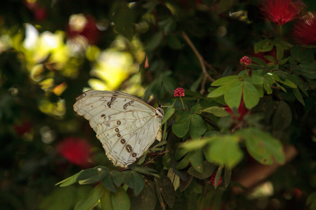 White morpho butterfly  Morpho polyphemus perches on a tree in a garden.