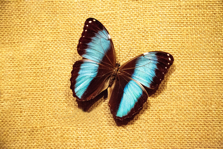 Pinned blue morpho butterfly Morpho peleides on a fabric board Stock Photo