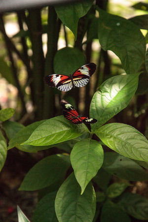 Mating dance of several Piano key butterfly Heliconius melpomene insects in a garden.
