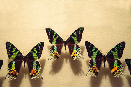 Madagascan sunset moth butterfly Urania ripheus to a display board as a specimen
