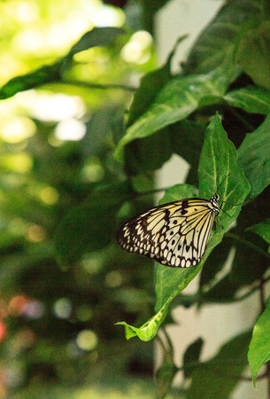 Paper kite butterfly Idea leuconoe in a tropical garden.